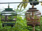 Perawatan Burung Derkuku Saat Musim Hujan