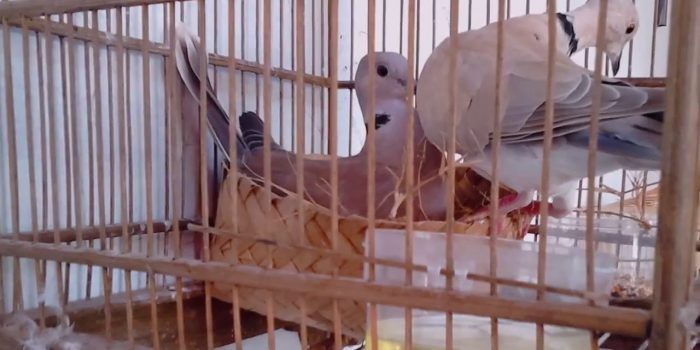 Cara Tepat Kawin Silang Burung Derkuku Info Guyub Rukun Derkuku Puter Pelung