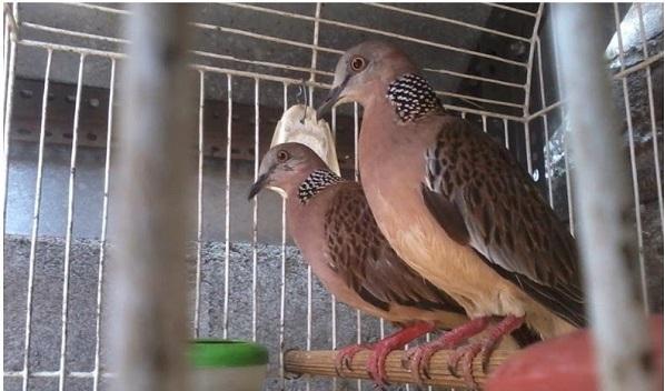 Cara Sukses Ternak Burung Derkuku Info Guyub Rukun Derkuku Puter Pelung