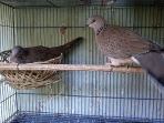 Cara mengatasi Penyakit Burung Derkuku