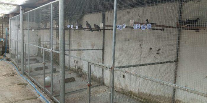 Kandang Umbaran Foiler, Sunaryo Arumania Bird Farm