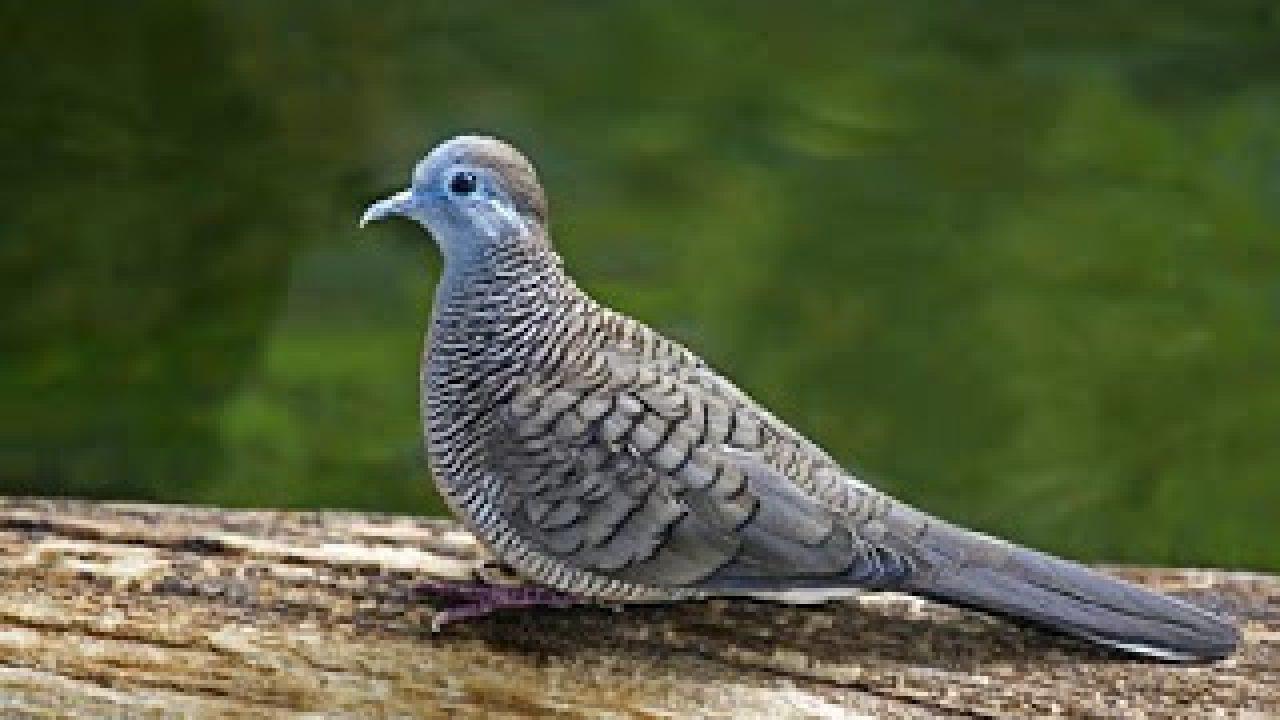 10 Tips Membuat Burung Derkuku Rajin Manggung Info Guyub Rukun Derkuku Puter Pelung
