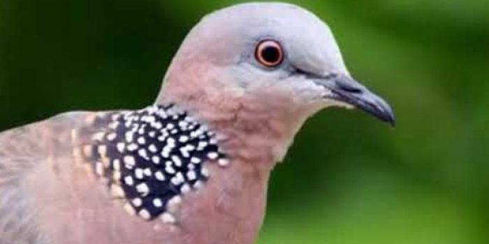 Cara Membuat Pancingan Suara Burung Derkuku Info Guyub Rukun Derkuku Puter Pelung